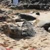 ウミガメに出会えるラニアケア・ビーチ